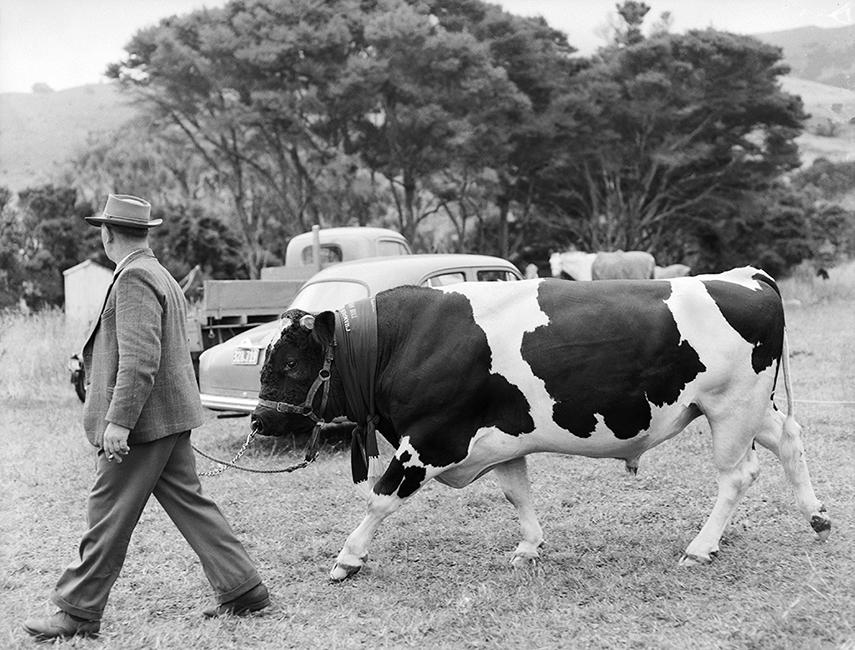 Norman Mason with his Champion Bull, Duvauchelle Show